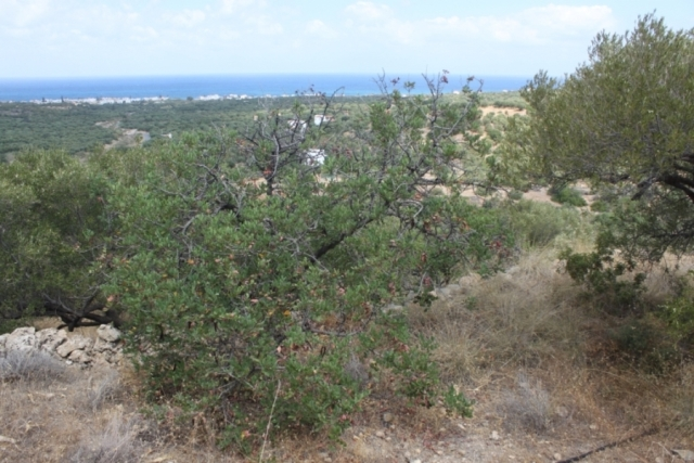 Crete land  plot with Olive trees  for sale near the beach in Milatos